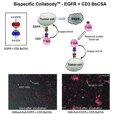 針對腫療治療所設計的膠原蛋白支架雙特異性(bispecific)T-cell engager融合抗體建置,並證實T淋巴細胞對於腫瘤細胞毒殺的能力。