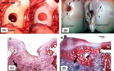 臨床前動物實驗、豬的手術