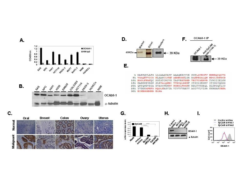 OCAb9-1抗體能辨認各種人類腫瘤細胞與組織的EpCAM,對於各種人類正常細胞與組織則不具辨認能力。