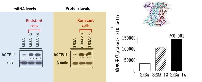 FePt奈米粒子更容易被放療抗性癌細胞大量攝取