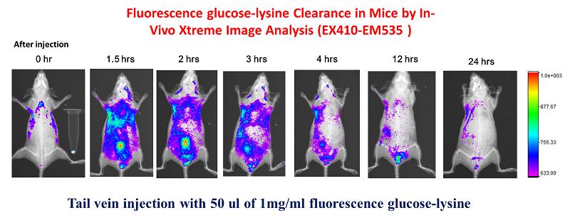 小鼠活體螢光醣代謝時間
