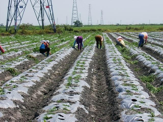 綠益康柴胡田間種植及管理