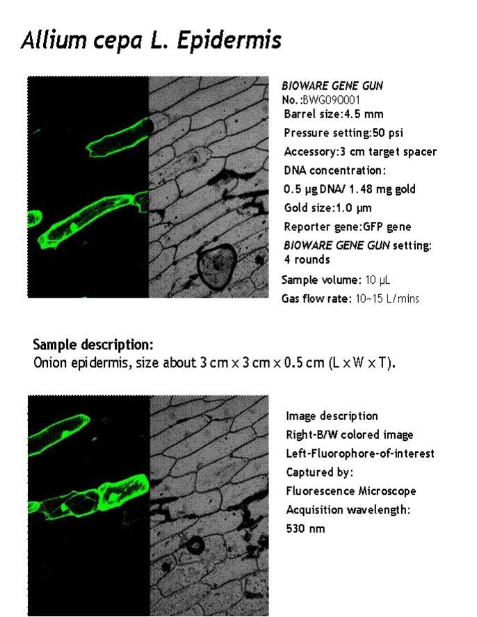 genegun-allium cepa L Epidermis-17.jpg