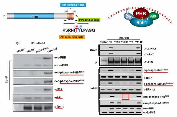 磷酸化PHB活化下游的訊息傳遞