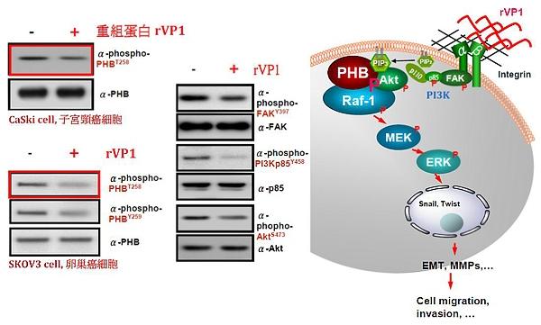 rVP1抑制磷酸化PHB