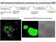 運動神經元先驅細胞的增生