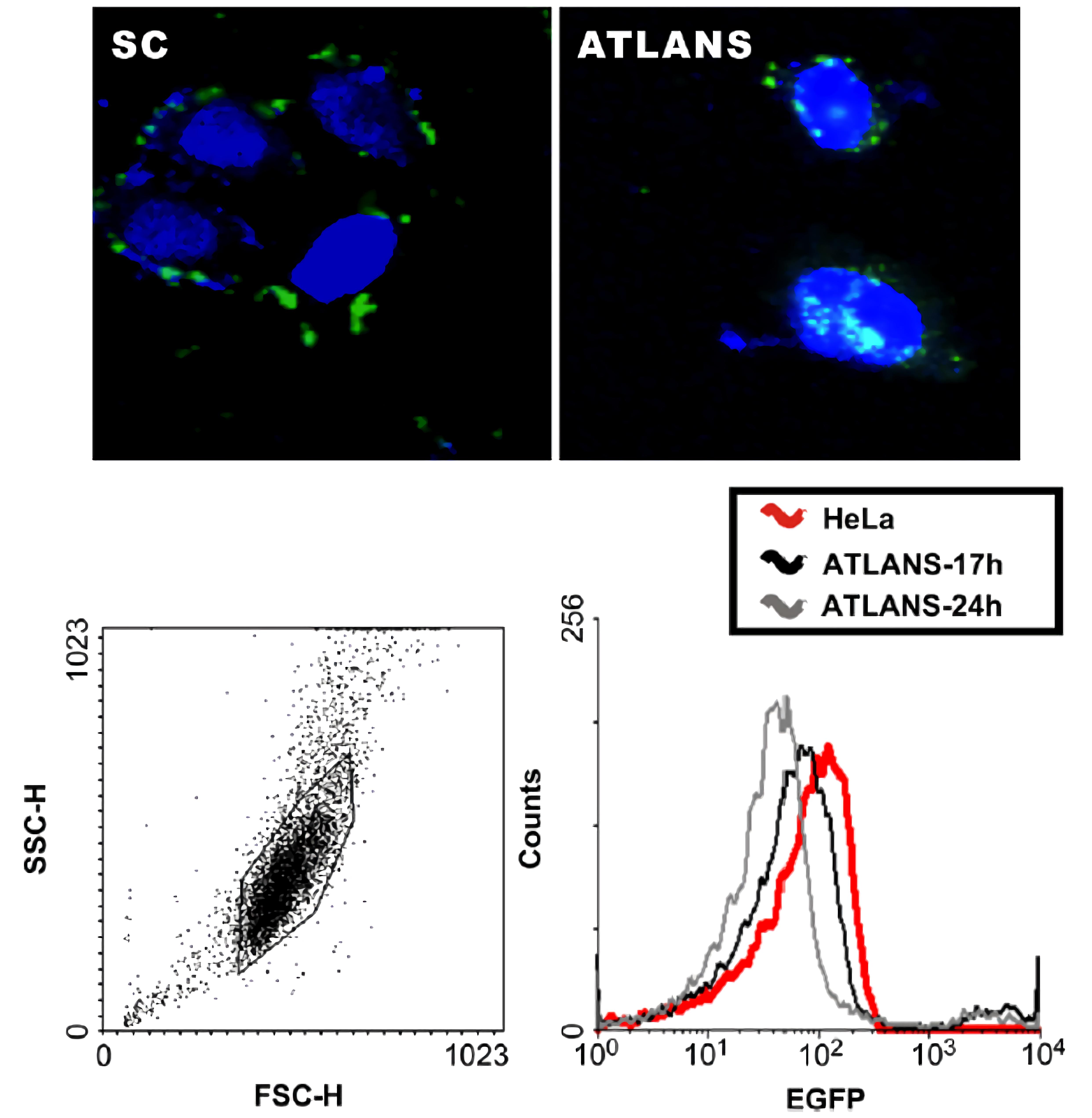 利用轉殖綠色螢光蛋白基因(EGFP)之細胞進行活細胞基因剪切測試