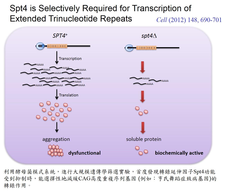 鄭子豪教授發現SUPT4H基因的重要性