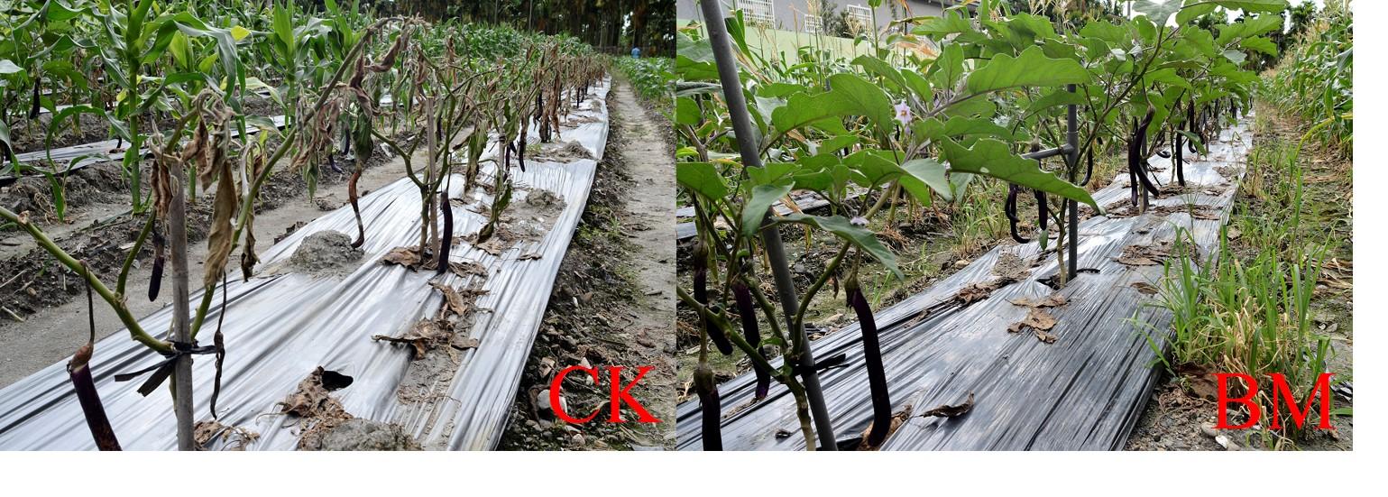 施用BM後防治茄子青枯病之發生