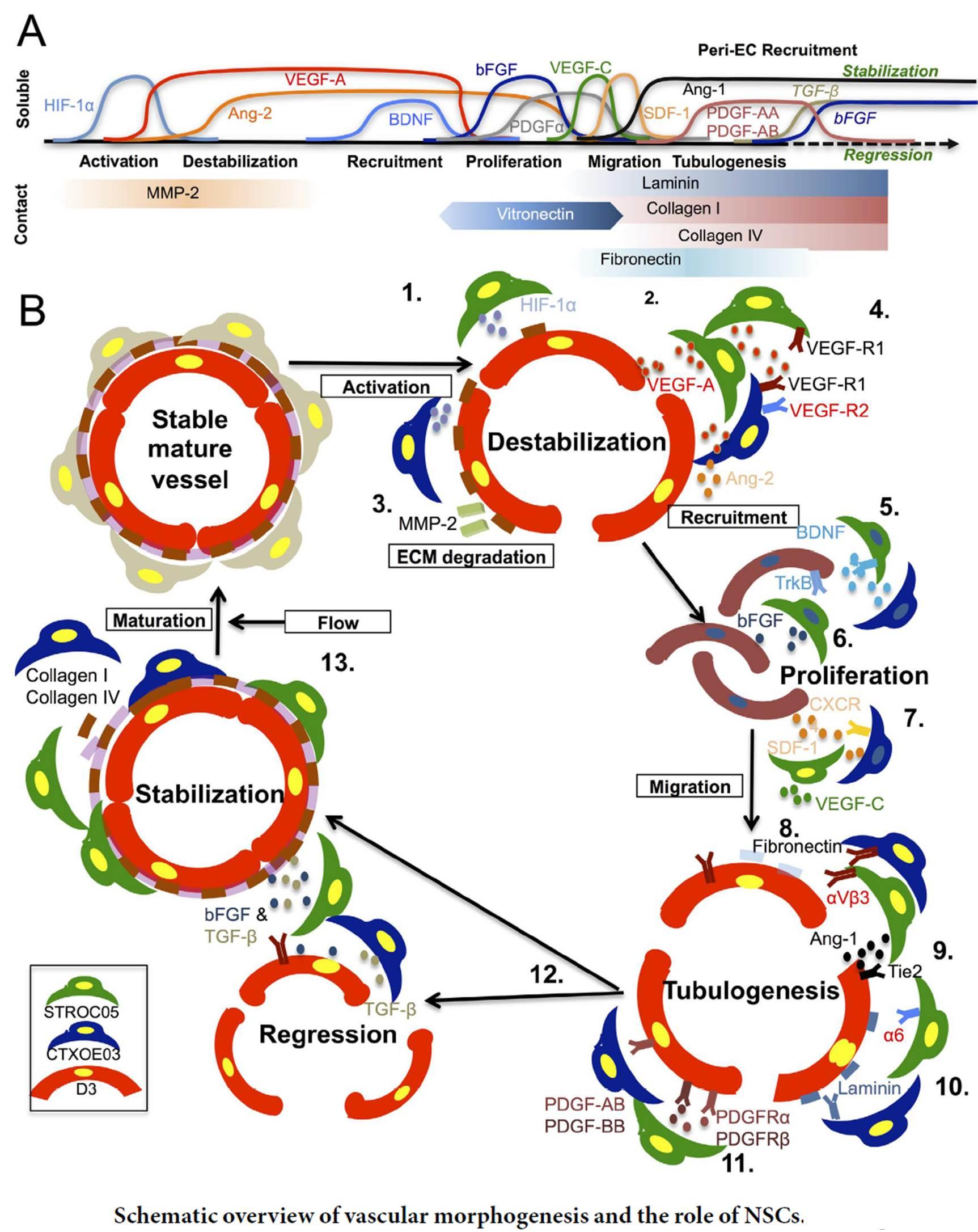 腦神經血管單元內旁分泌及鄰分泌作用因子