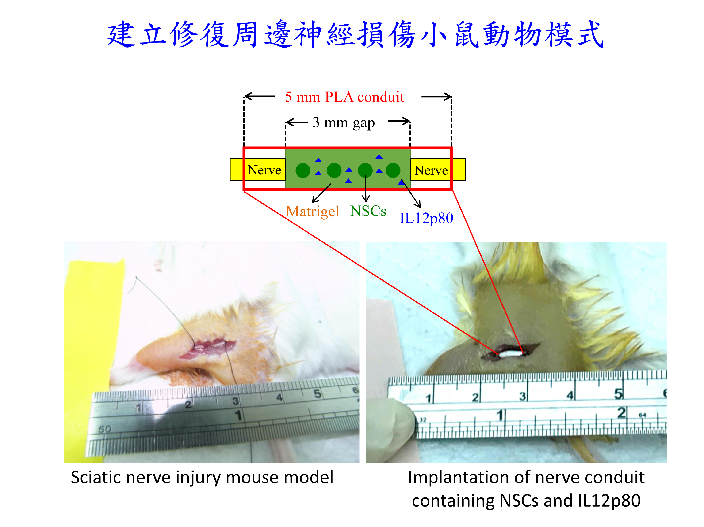 IL12p80周邊神經損傷修復小鼠動物模式