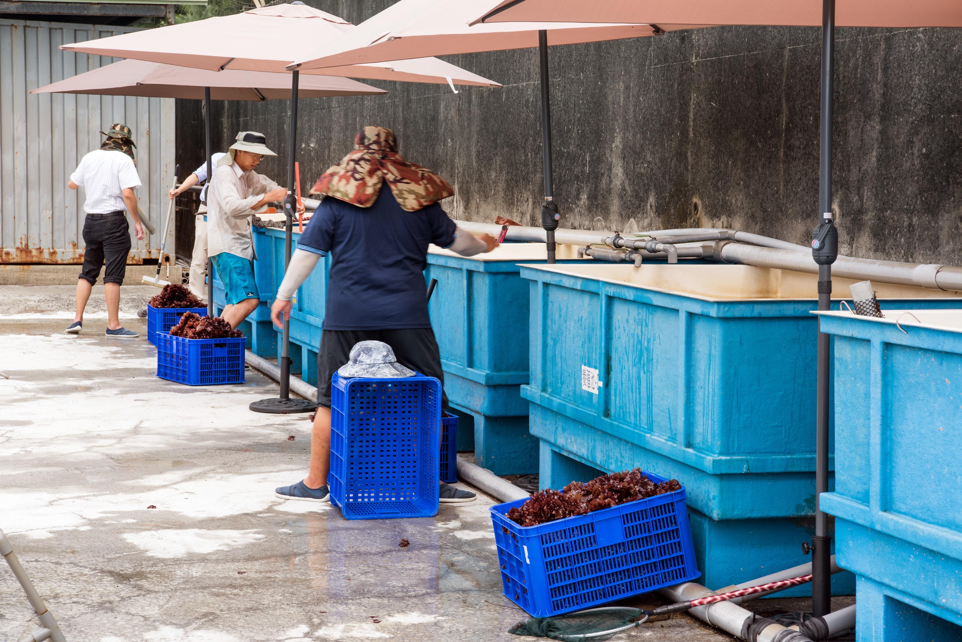 永安海藻養殖試驗工場-2噸池海木耳採收