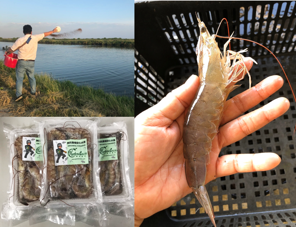 炬銨 x 黃芬香生態養殖場 白蝦養殖契作-全程無用藥「安心蝦」