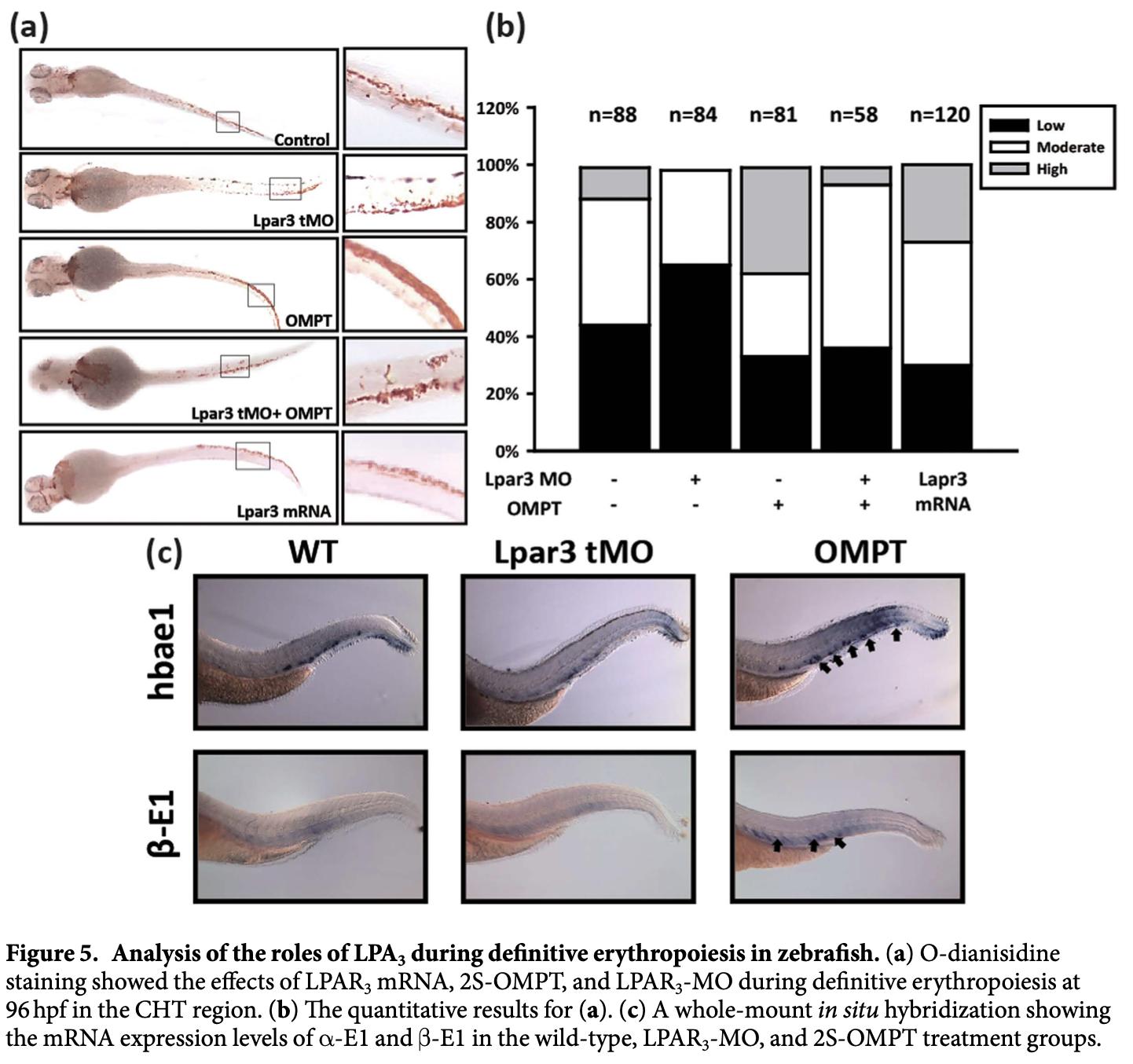 OMPT增進斑馬魚紅血球之生成