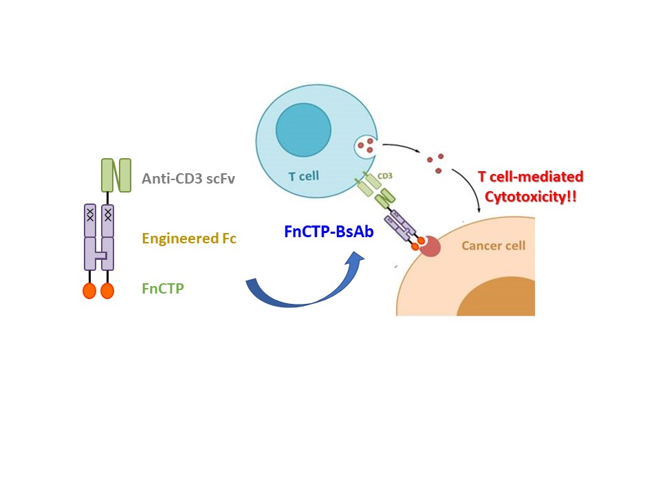 Mechanism of action: FnCTP-BsAb