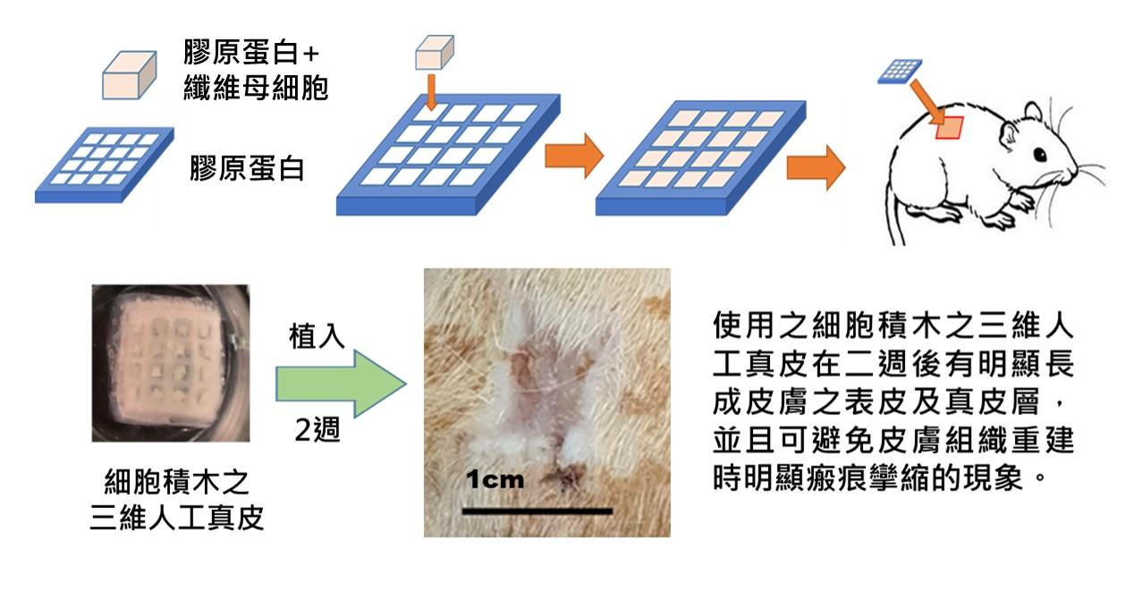 三維人工真皮促進組織再生之組織切片圖