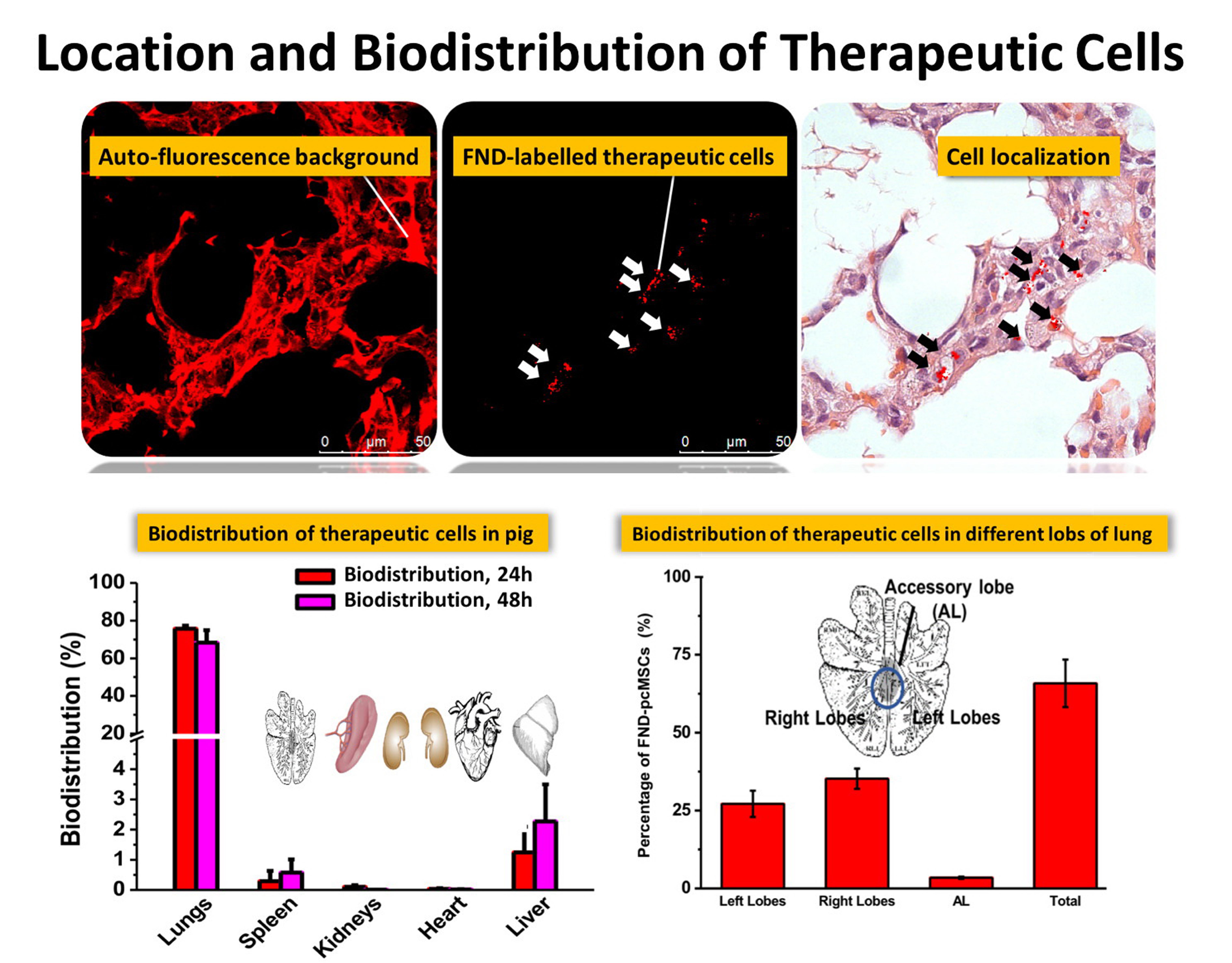 移植至迷你豬體內之人類間質幹細胞的生物分佈與定位追蹤