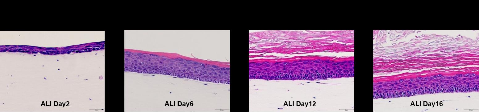 1091023 全皮層皮膚列印系統 組織切片確認